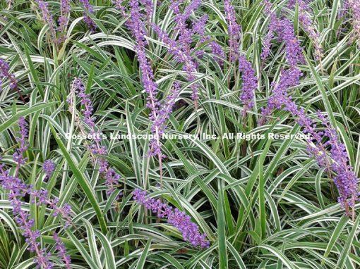 Grass Liriope Variegated