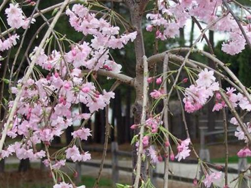 Cherry Weeping (Double Grafted)