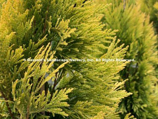 Arborvitae 'Forever Goldy' PP#19,267