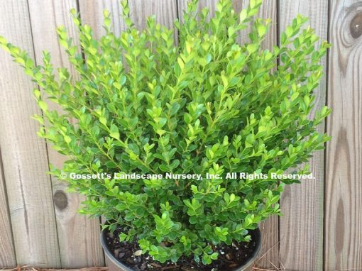 Boxwood Baby Gem™