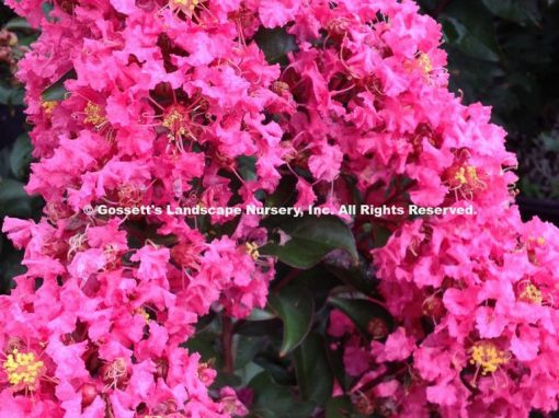 Crape Myrtle Dwarf 'Coral Magic' PP#23,922