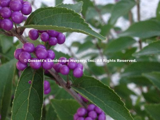 Beautyberry 'Early Amethyst'