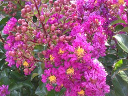 Crape Myrtle Dwarf 'Purple Magic' PP#23,906