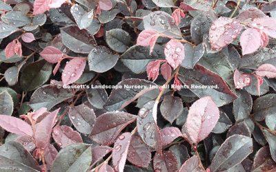 Loropetalum 'Crimson Fire' PP#25,534