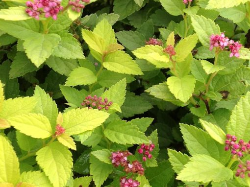 Spirea Double Play Gold PP#21,615