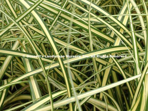 Grass Carex 'Evergold'