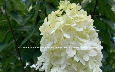 Hydrangea 'Limelight' Tree Form