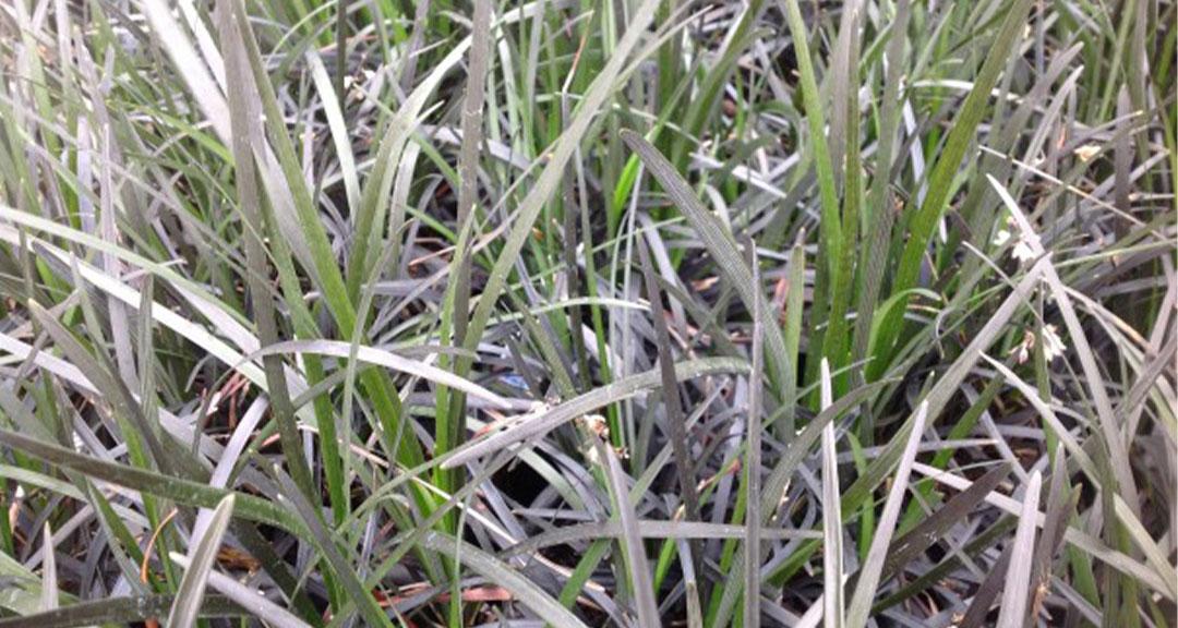 Grass Black Mondo