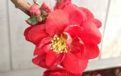 Quince Double Take 'Scarlet Storm' PP#20,951