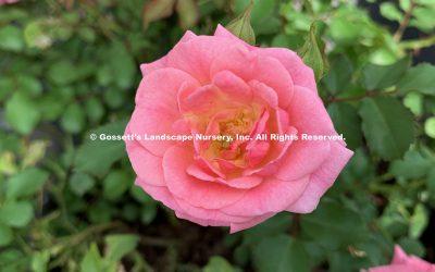 Rose Sweet Drift Pink PP#21,612