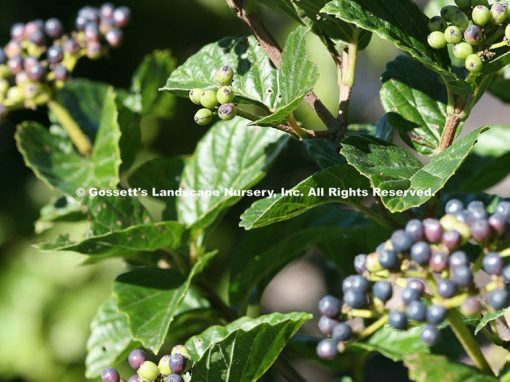 Viburnum All That Glitters® PP#26,576