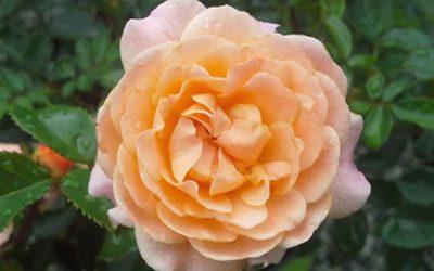 Rose Apricot Drift PP#23,354