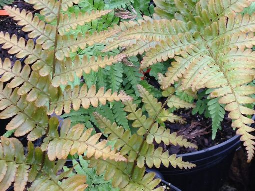 Fern Autumn Brilliance