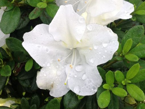 Azalea Bloom-A-Thon® White PP#21,512