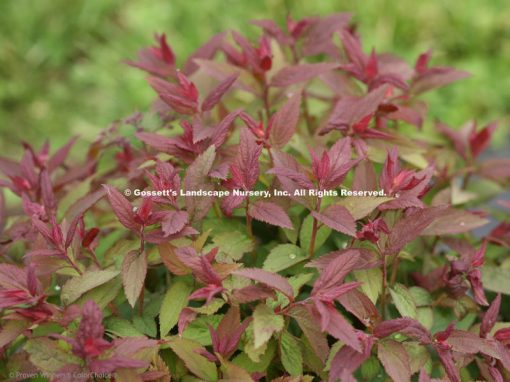 Spirea Double Play® Red PP#26,993