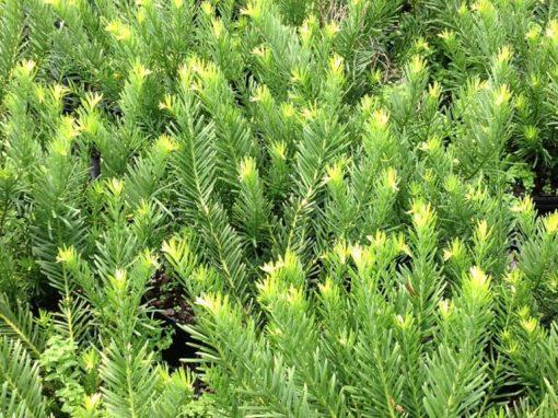 Cephalotaxus 'Duke Gardens'