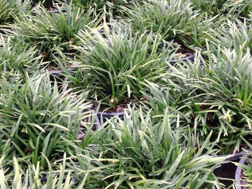 Grass Dwarf Mondo