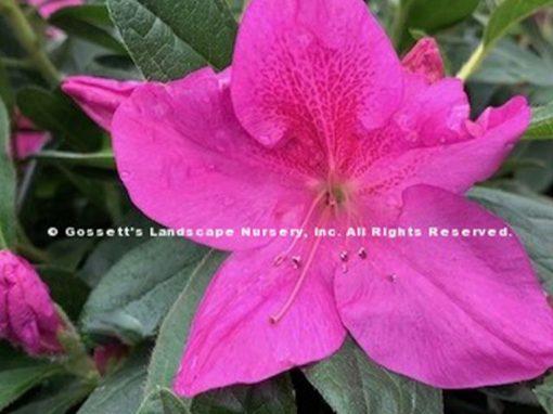 Azalea Bloom-A-Thon® Lavender PP#21,476