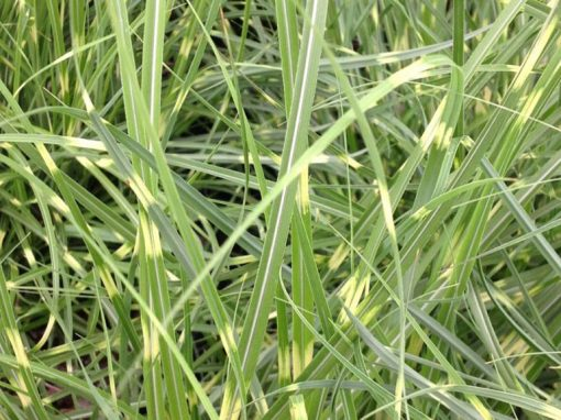 Grass Miscanthus 'Little Zebra'