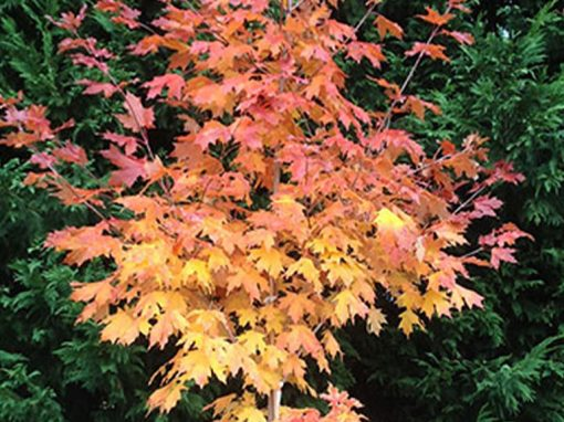 Maple Sugar 'Flash Fire'