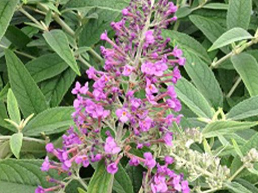 Butterfly Bush 'Purple Haze' PP#24,514