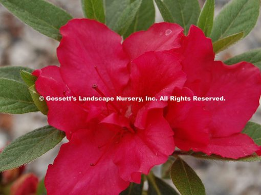 Azalea Bloom-A-Thon® Red PP#21,562