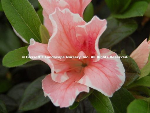 Azalea Encore® 'Autumn Sunburst™'