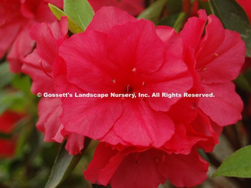 Azalea Encore® 'Autumn Bonfire™'