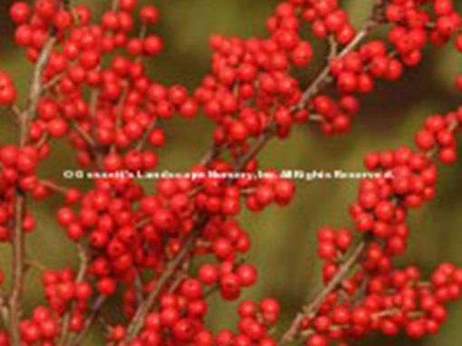 Holly Winterberry 'Berry Nice'®