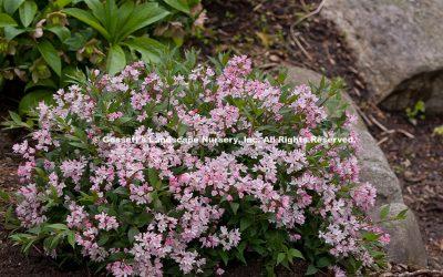 Deutzia Yuki Cherry Blossom®