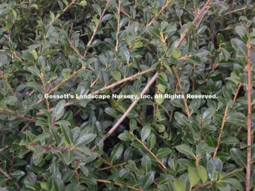 Holly 'Green Luster'