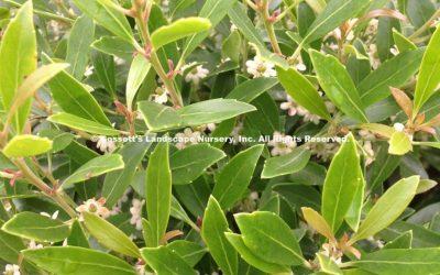 Holly Dwarf Inkberry Gem Box® pp#27,554