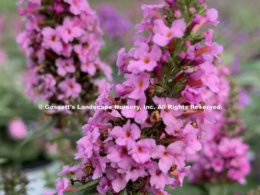 Butterfly Bush 'Pink Micro Chip' pp#26,547