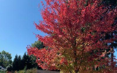 Maple Red 'Autumn Blaze'
