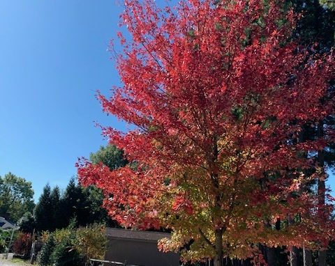 Maple Red 'Autumn Blaze'