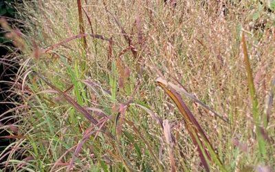 Grass 'Shenandoah'