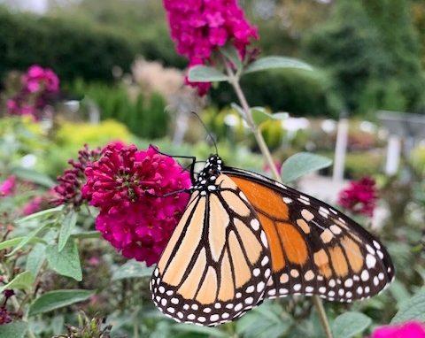 Butterfly Bush 'Miss Molly' PP#23,425
