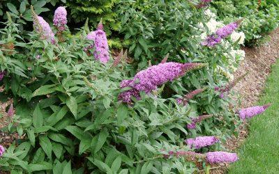 Butterfly Bush Pugster Pinker™